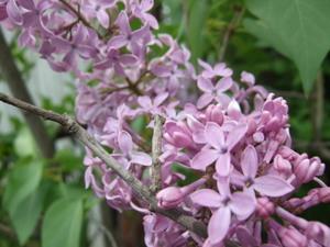 Lilacs_002