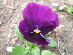 Lilacs_003